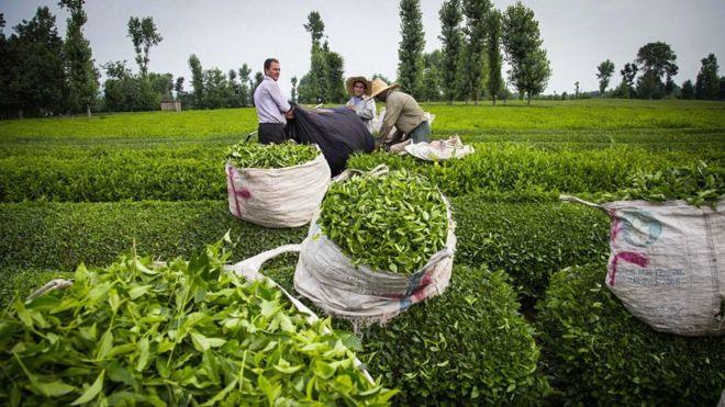 iran tea farms iranian tea - Iranian Tea / chai