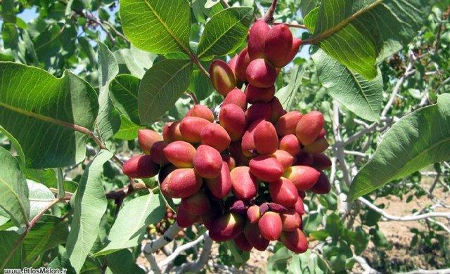 buy pistachio pistachio iranian pistachio iran pistachio pistachios - IRANIAN PISTACHIO