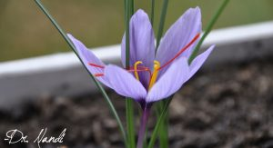 saffron - Health Benefits of Saffron