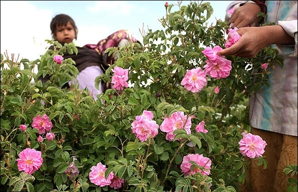 rosewater rosewater - THE WORLD'S BEST ROSEWATER COMES FROM IRAN