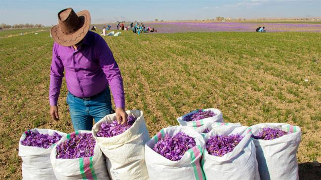 saffron - Diffusion and economic importance of saffron